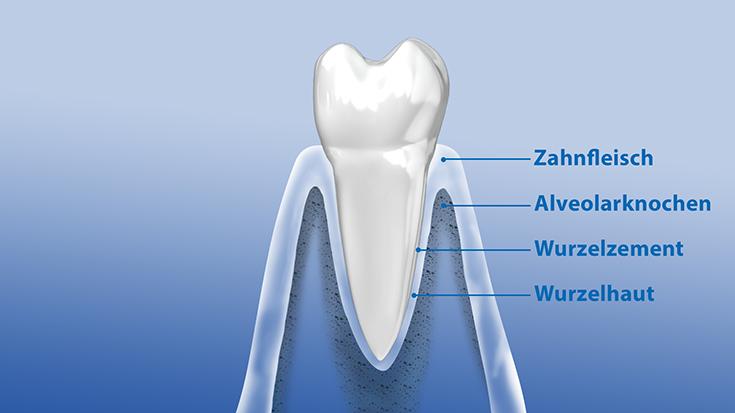 Querschnitt eines Zahnes